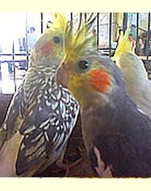 Papuga Nimfa